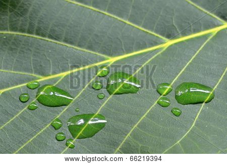 A close up of footprints on green leaf of walnut poster