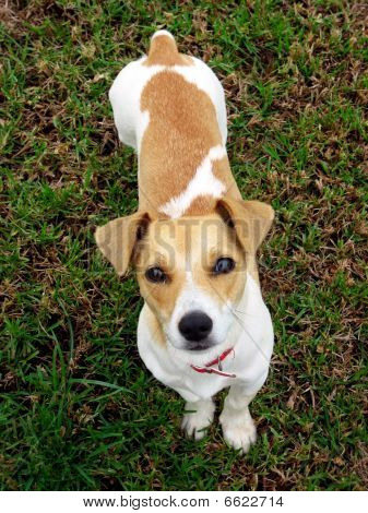 Jack Russel Terrier Puppy Looking Up