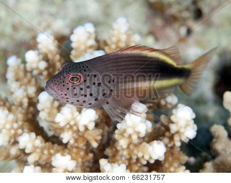 Blackside Hawkfish