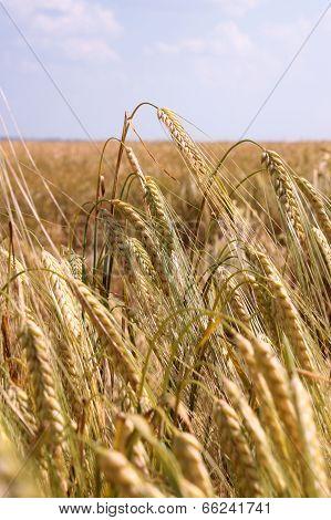Ripe wheat ears_001