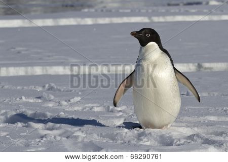 Adelie Penguin Which Stands On An Ice Floe Near The Crack
