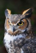 The majestic Great Horned Owl is also known as the silent killer. poster
