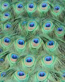Closeup of peacock feathers forms colorful pattern poster