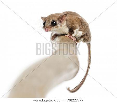 Sugar glider on a branch - Acrobates pygmaeus