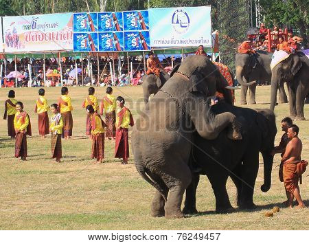 elephant have sex while wait to show in Surin Elephant Round-up 2014