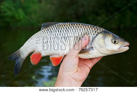 Chub in fisherman's hand against river and shore