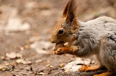 Little squirrel eating nut in park at spring poster