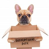 french bulldog dog holding a donation box isolated on white background poster