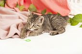 young tabby gray cat plays on a blanket poster