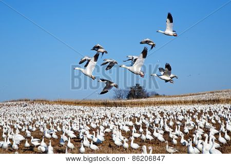 Snow Geese Fly Over