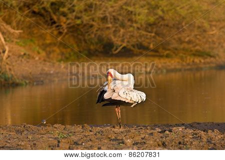 yellow-billed stork (Mycteria ibis) , Kruger, South Africa