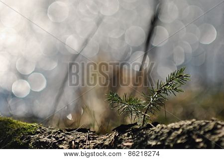 Spruce tree seedling in a spring light