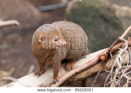 dwarfish a mongoose sits on  tree trunk