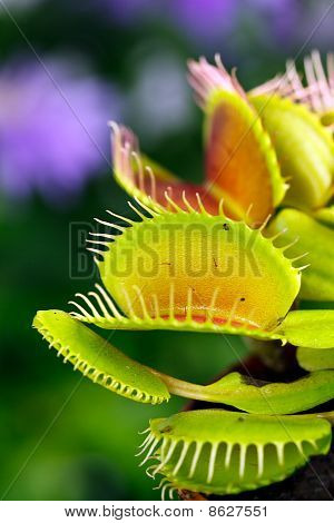 Dionaea muscipula , known as flytrap, in closeup