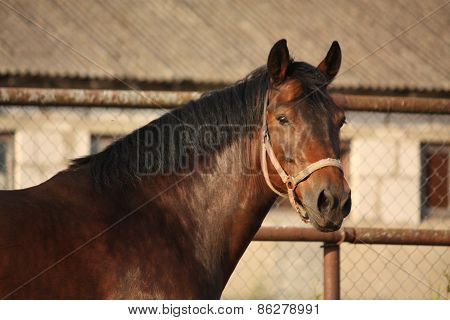 Portrait Of Brown Horse Neighing