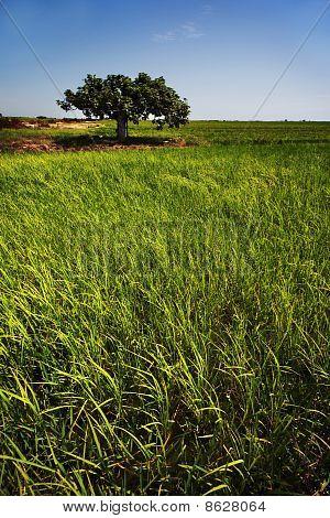 Rice Paddy Crops