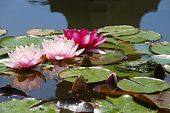 Pink water-lilies and a green frog afloat in a water garden poster