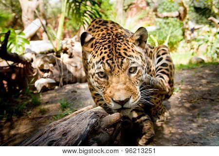 Large Male Jaguar Jumping Towards Camera