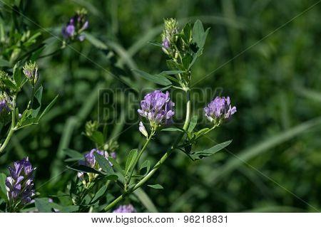 Alfalfa Blooming in a Field