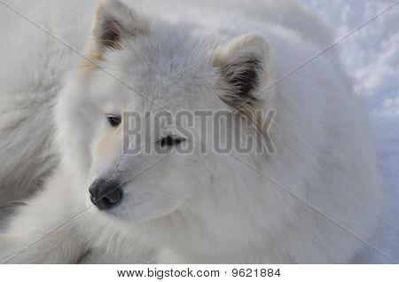 Big Samoyed Sled Dog