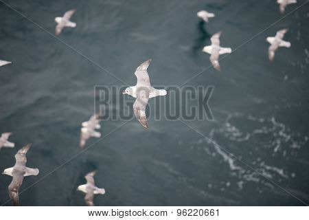 Northern Fulmar Flying Over Water