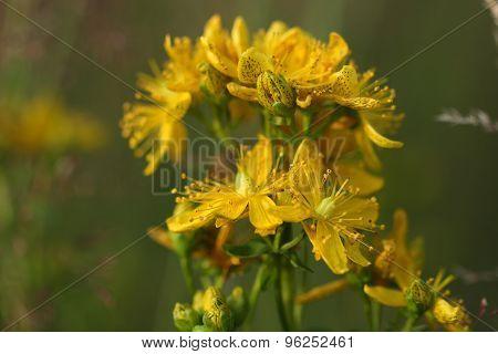 Close-up  Hypericum Flowers (hypericum Perforatum Or St John's Wort)