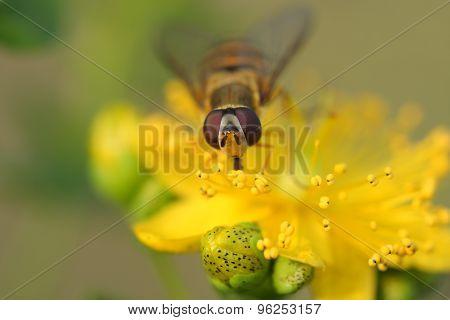 Hoverfly( Episyrphus Balteatus) On Hypericum Flowers