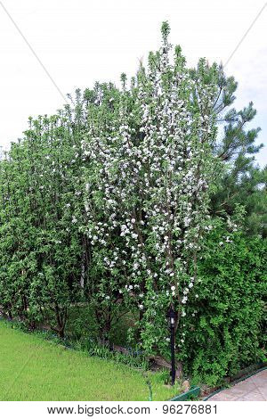 Columnar Apple Trees In The Spring Garden