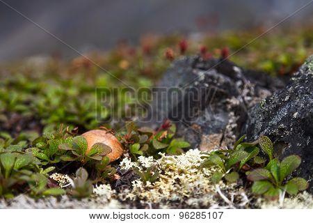 Beautiful image of tundra mushroom Botulla, plants and moss Chukotka, Russia poster
