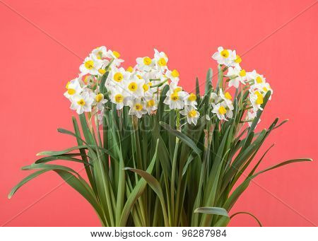 narcissus blooming