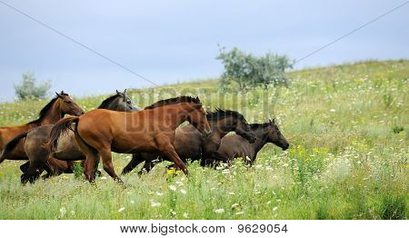 herd of wild horses running on the field