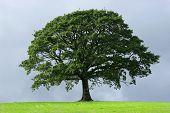 oak tree in full leaf in summer standing alone in a field against a steel grey stormy sky. poster
