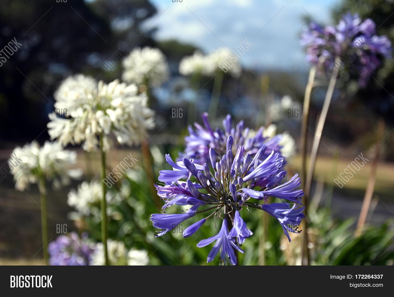 White Blue Lilies Image Photo Free Trial Bigstock