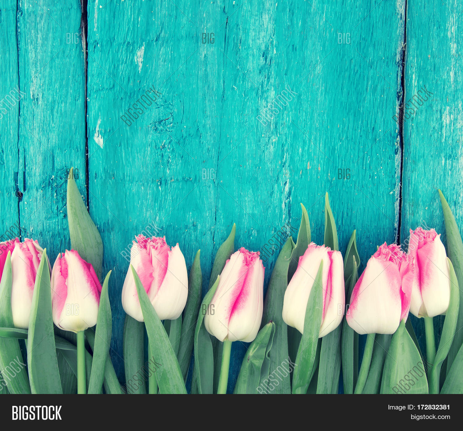 Frame Tulips On Image & Photo (Free Trial)