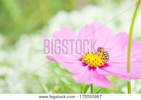 pink cosmos flowers and insect in the park flowers in the garden pastel style