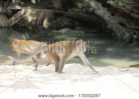 Wild Monkeys On Sand