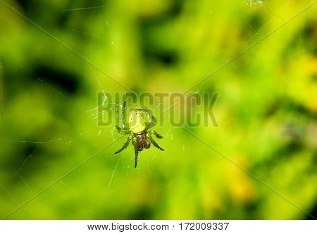 An araniella cf cucurbitina, Pumpkin spider, nature