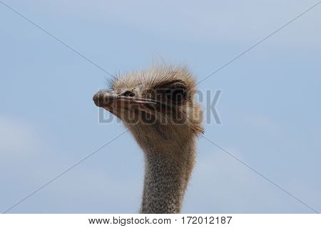 An ostrich face up close in the wild.