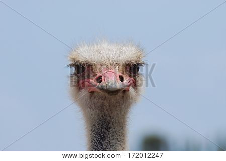 Great pink bill on the face of an ostrich up close and personal.