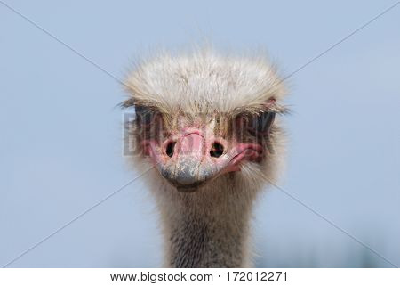 Common ostrich with a worn beak against a blue sky.