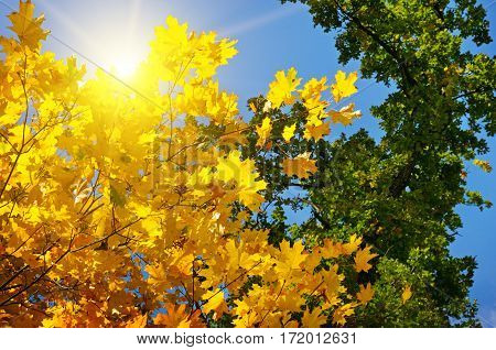 tree branches and yellow autumn leaves against the blue sky and sun