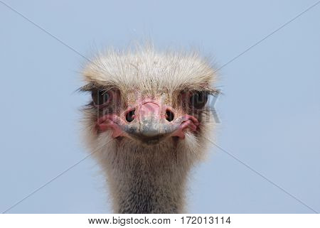 Face of an ostrich bird up close and personal.