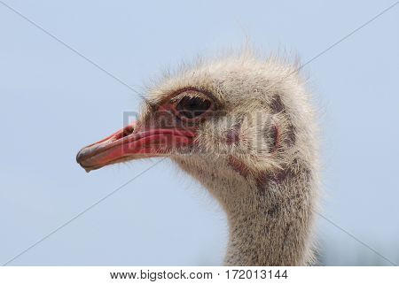 Ostrich with bald spots on the side of his head.