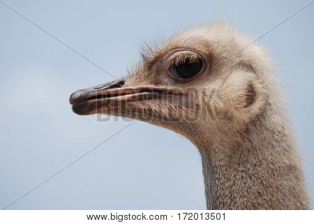 Amazing profile view of a large common ostrich bird.