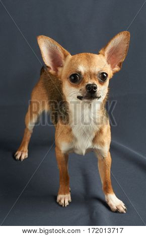 One red puppy of Chihuahua stands on gray background