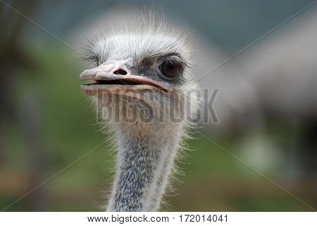 Feathers standing up around the face of an ostrich.