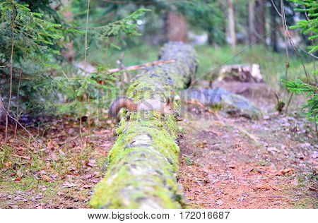 Cute squirrel with winter fur on tree trunk Finland