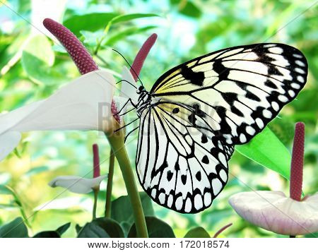 white-black tropical butterfly on a white flower