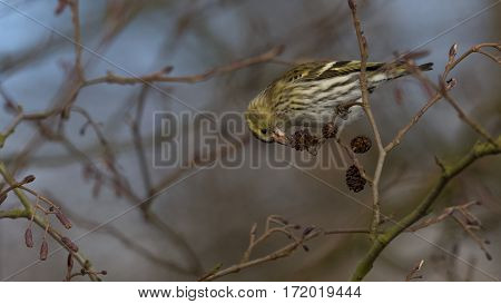Eurasian Siskin eats seeds from cones - Carduelis spinus