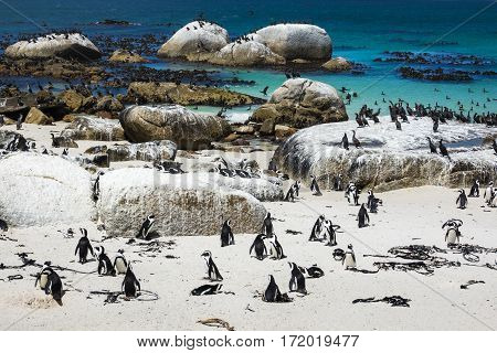 African penguins at Boulders Beach Cape Town South Africa